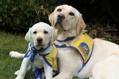 Two puppies in training with Canine Companions for Independence.
