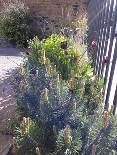 Pinus mugo in the foreground, Euphorbia in the middle, Pittosporum by the wall