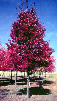 Red Maples, Red Sunset Maple, October Glory Maple, Sun Valley Maples, and Brandywine Maples available in Washington State Red Sunset Maple, Acer Rubrum, Landscaping Plants, Landscaping Ideas, Maple Tree, Colorful Pictures, Herb Garden, Trees To Plant