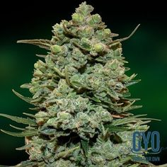 Barney's Farm Cookies Kush Feminised Cannabis Seeds: This great product from Barney's Farm has received critical acclaim the world over. It won first prize at the Cannabis Cup in 2014 and is rapidly becoming the must-have product for any discerning grower. The balance between the flavoursome Cookies and the power, strength and undeniable bling of the Rolex OG has been achieved beautifully. An instant favourite.