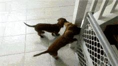 Dachshunds can't wait to take a bath… probably the cutest gif i've ever seen