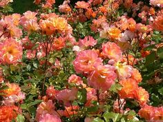 'Westerland ' Rose Photo, excellent part shade tolerance, large shrub or small climber.