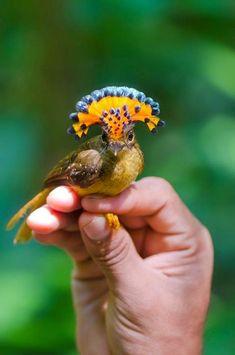 El mosquero real (México, Costa Rica) (Onychorhynchus coronatus), también…