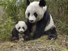 giant panda cub | giant-panda-mother-and-cub_nature
