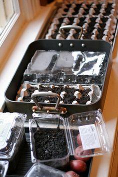 Egg cartons to start seeds