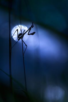 Praying Mantis in Moonlight – Photography by Julien Delaval