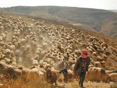 Herding sheep and goats, Jordan. A shepherd moves his flock across land between Madaba and Mount Nebo in west central Jordan. Today fewer than 50,000 of Jordan's Bedouin are thought to be truly nomadic (around 1.5 percent of the total population) and around 6 percent semi-nomadic.