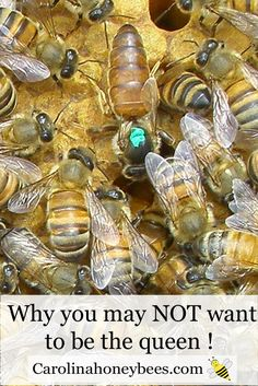 Being the queen bee is not easy. Take a look at the role of the queen in a honeybee colony. Carolina Honeybees Farm Blog Post