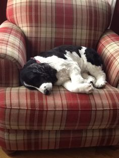 Springer Spaniel - Tired Girlie