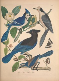 Jays, Crows, Grakles.  Illustrations taken from 'Illustrations of the American Ornithology of Alexander Wilson and Charles Lucian Bonaparte' ( also Thomas Brown). Published 1835.by various publishers (Frazer & Co, William Curry Junior. & Co, Smith, Elder & Co).