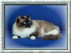 Villaroyal Champion Alter Herecletes SEAL MITTED RAGDOLL CAT-lovable and playful