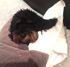Is it bed time yet...Hugo the Cavoodle feeling the cold