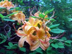 The Flame Azalea is part oft he Rhododendron family and only grows the Appalachian Mountains from North Georgia to Southern New York. I love these, used to see them all the time. May Flowers, Wild Flowers, Spring Wildflowers, Appalachian Mountains, April Showers, Blue Ridge, Georgia, Flora, Plants