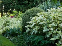 Notice how all the key plants here are different shapes. The boxwood is neatly trimmed into a sphere, while the grass resembles a cascading waterfall; the knotweed has an upright, open shape; and the saxifrage hugs the ground. This adds subtle interest so our focus again is pulled away from the different types of variegation in the leaves of each plant.