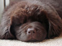 chocolate newfie - I have a picture of my chocolate newfie in this exact pose...