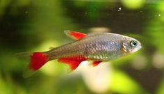 Image result for red finned tetras