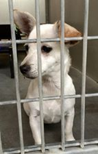 #A475760 Release date 11/20 I am a female, white Chihuahua - Smooth Coated. Shelter staff think I am about 5 months old. I have been at the shelter since Nov 13, 2014. City of San Bernardino Animal Control-Shelter. https://www.facebook.com/photo.php?fbid=10203943444644056&set=a.10203202186593068&type=3&theater