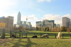 A real life working City Farm in Vauxhall, south London.  Real sheeps, pigs and even alpacas! You can also see the MI6 Building behind, featured in many James Bond spy films.