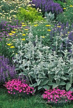 drought tolerant stachys, dianthus, salvia, achillea, verbascum, penstemon, and a daisy hug up to the lawn: