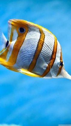 tropical striped fish