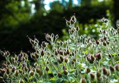 Tarhakurvenpolvi, Geranium x magnificum