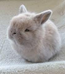 Image result for norwegian dwarf bunny