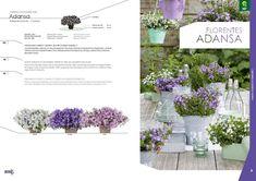Online Campanula catalogue for North America - Schoneveld Breeding Corporate Identity, North America, Catalog, Colours, Logos, Floral, Illustration, Artwork, Plants