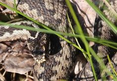 Rästik / Viper  Ingo-Valgma has added a photo to the pool:  Rästikublogi   A pin by Ingo Valgma Viper