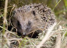 hedgehog by FletchtheMonkey http://flic.kr/p/6Nusdm