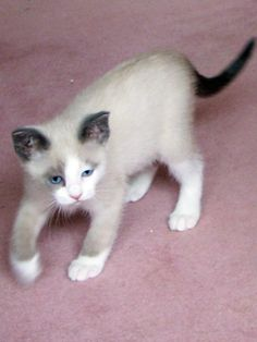 Cute snowshoe kitty! Snowshoes usually have pretty blue eyes and distinctive snowy paws. Great family pets!