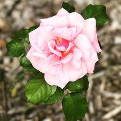 Roses in bloom. - #flower #flowers #flowerstagram #floweroftheday #flowersofinstagram #inbloom #bloom #pretty #gorgeous - #garden #mygarden #gardening #gardenlife #gardendesign #urbangardening #instagarden #nature #plants #organic #green #greenthumb #growyourown #homegrown - #florida #southflorida #floridalife #rainbowsendgarden - #photography #picoftheday