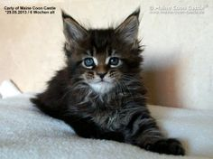 Carly of Maine Coon Castle 6 Wochen alt, 886g