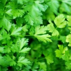 When you cut up fresh herbs or tear the fallen leaves, you can scent their potent, terrific scent. They differ a lot in flavor, from pleasant lavender and sage Permaculture, Herb Garden, Vegetable Garden, Garden Guide, Herbs Indoors, Growing Herbs, Fast Growing, Plantation, Kraut