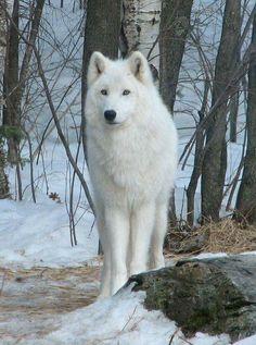 White wolf via I Love Wolf on FB