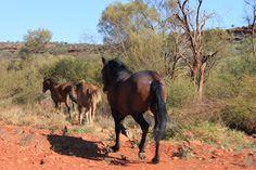 Brumby v centre Austrálie, prejde denne 40km a v čase sucha 80km... nedostáva muessli, granule, ovos... žerie len trávu... hnusnú suchú trávu...je v perfektnej kondícii, hm? ;)