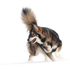 The Utonagan (pronounced /ˌjuːtɵˈnɑːɡən/) is a breed of dog that resembles a wolf, but in fact is a mix of three breeds of domestic dog: Alaskan Malamute,German Shepherd, and Siberian Husky.