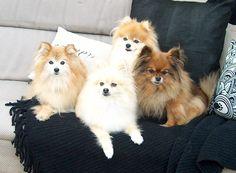 Pomeranians.