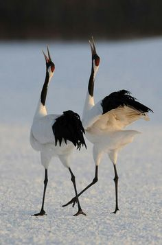 Tsuru or Japanese crane.