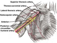 Superior thoracic artery