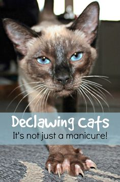 We discuss the practice of declawing - what it involves, the risks associated with it, and the alternatives to declawing your cat | Declawing Cats: It's Not Just a Manicure!