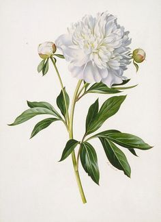 botanical painting flower peonie - Google Search