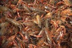 Louisiana Crawfish Co. - Live Crawfish #