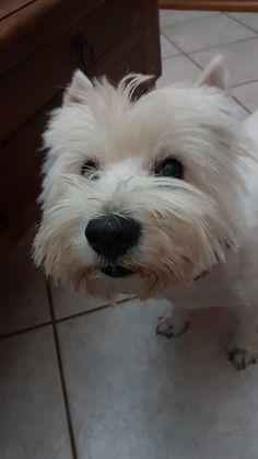 Orfeas Westie ❤️ Highlands Terrier, West Highland Terrier, Westies, Muffin, Board, Dogs, Animals, Pets, Gatos