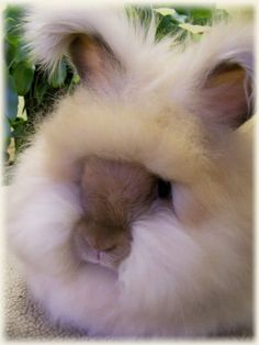 English Angora Rainbow of Colors - very cute site of these angora rabbits - they don't look real