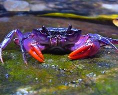 New Purple Crab species found in the Phillipines