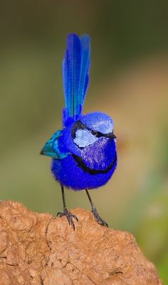 The splendid 'Fairy Wren'