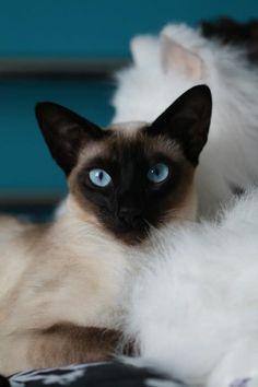 Siamese cat, Clairette