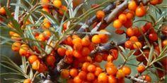 Jak zpracovat rakytník a na co pozor při jeho sklizni? – Abecedazahrady.cz Fruit Trees, Trees To Plant, Fruit Orange, Berry, Seed Bank, Herb Seeds, Unique Plants, Medicinal Herbs, Healing Herbs