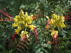 LOVE this Mexican bird of paradise!  Such unusual blossoms..
