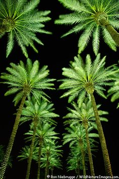 ✯ Palm Springs, California...... N8 sky decorated with beautiful green palm trees......